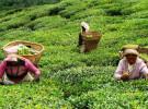 इलाममा चियाको पहिलो टिपाइ शुरु, उत्पादन बढ्दो